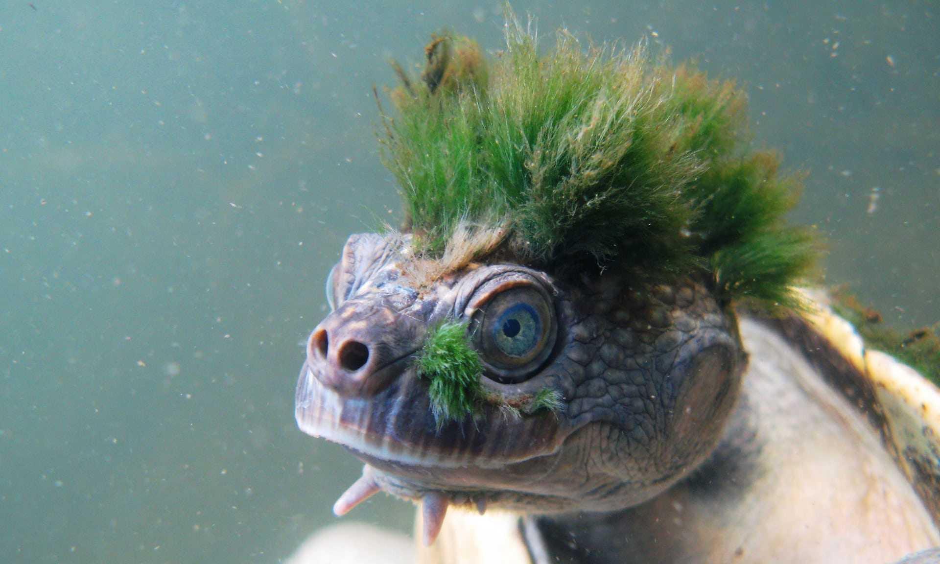 Черепаху с зелеными «волосами» признали исчезающим видом