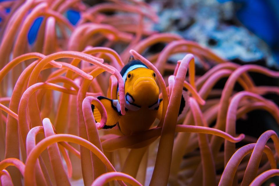 Как исчезновение Большого Барьерного рифа повлияет на человека Как исчезновение Большого Барьерного рифа повлияет на человека clownfish 3030148 960 720
