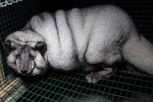 В Финляндии лисиц закармливают до ожирения ради меха