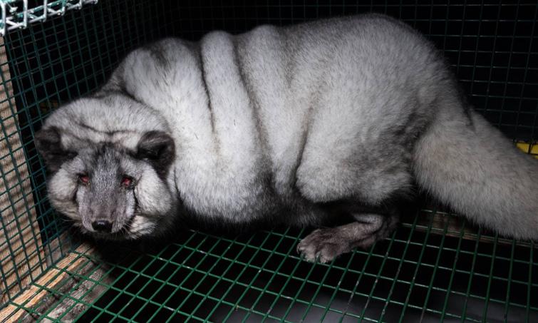 В Финляндии лисиц закармливают до ожирения ради меха.Вокруг Света. Украина