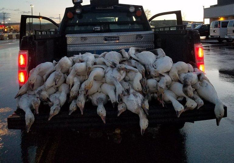 В США прошел дождь из мертвых гусей.Вокруг Света. Украина