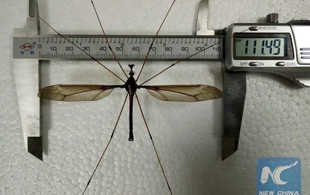 В Китае покажут самого большого комара в мире В Китае покажут самого большого комара в мире komar
