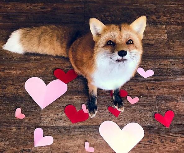 Как из лисы сделать домашнего любимца
