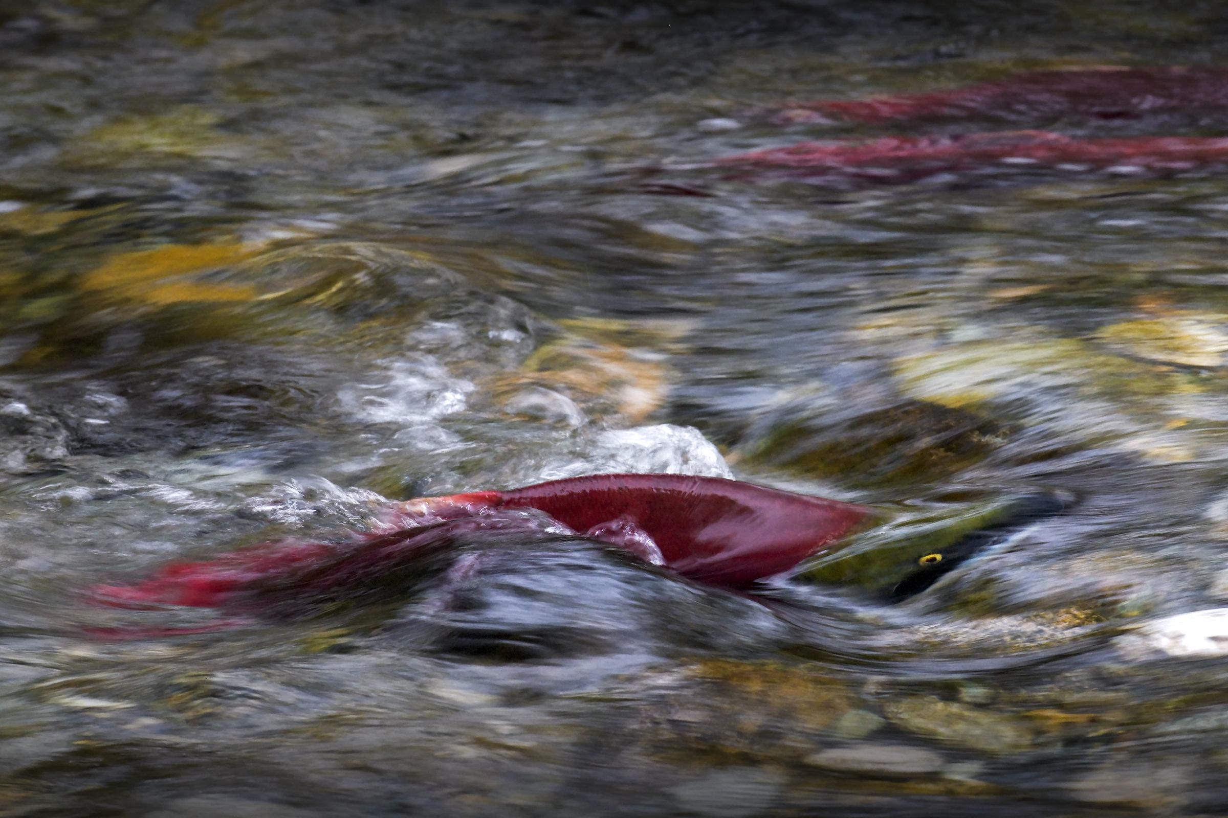 Угри и белуги путешествуют даже в очень пожилом возрасте Угри и белуги путешествуют даже в очень пожилом возрасте losos