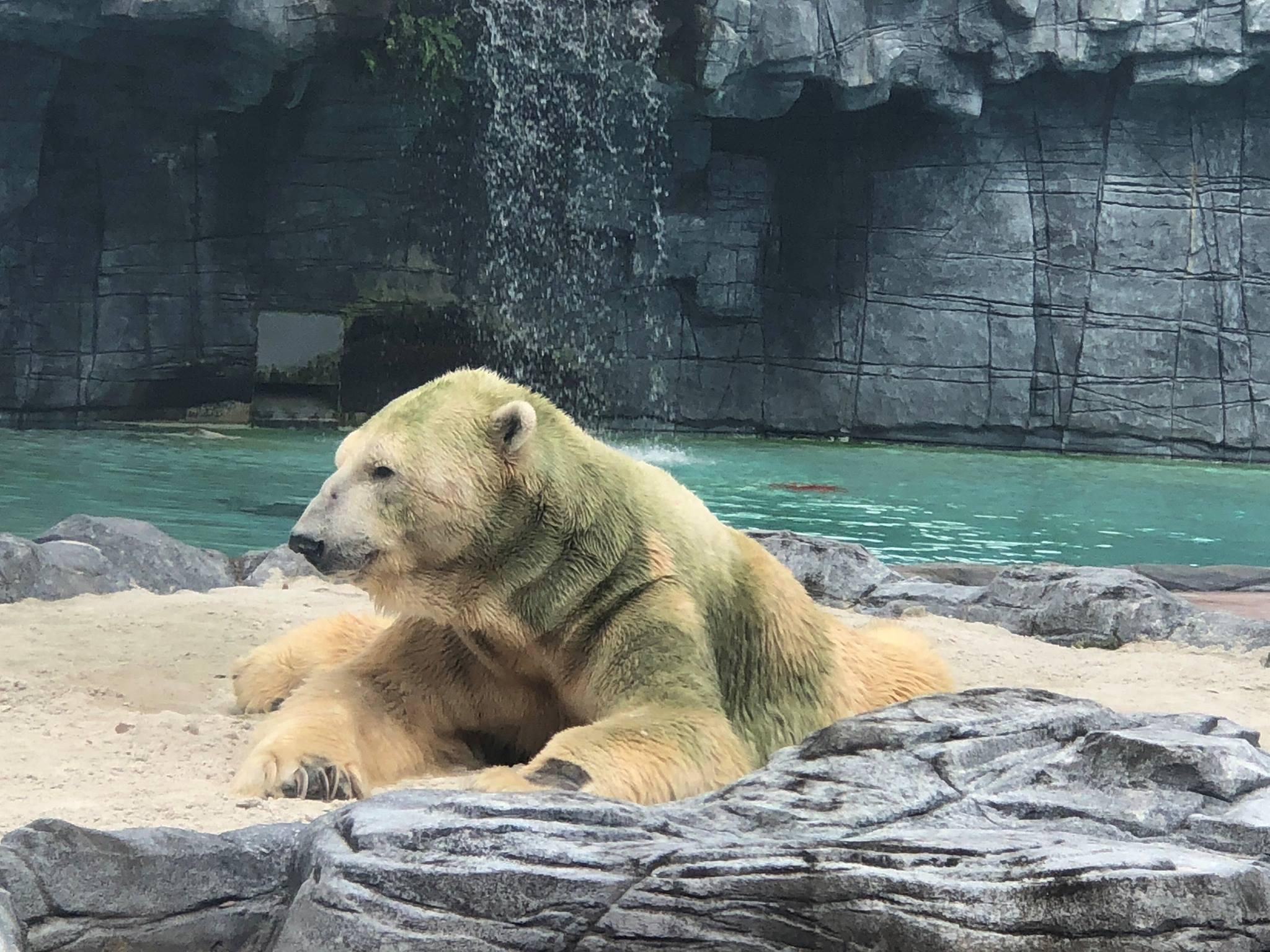 В Сингапуре умер знаменитый белый медведь Инука В Сингапуре умер знаменитый белый медведь Инука medved 2