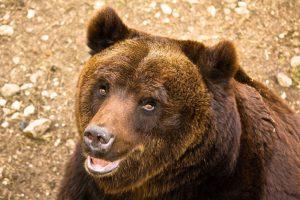 В Италии биологи случайно убили редкого медведя