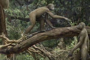 Люди встали на две ноги на миллионы лет раньше, чем считалось