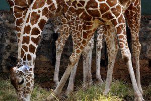 В Южной Африке застали жирафа за обгладыванием костей (видео)