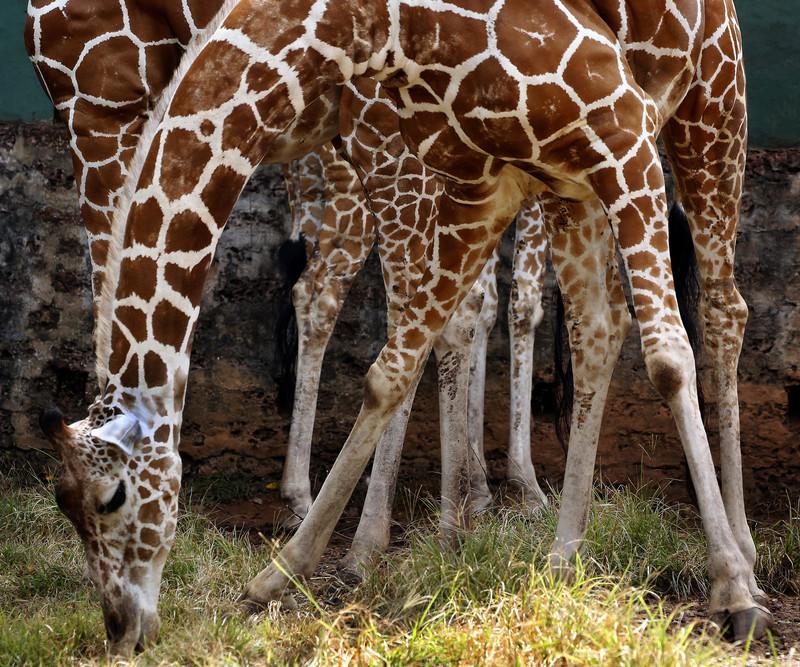 В Южной Африке застали жирафа за обгладыванием костей (видео).Вокруг Света. Украина