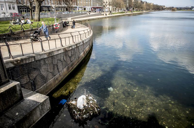 В Копенгагене лебедь свил гнездо на мусорном острове (фото) В Копенгагене лебедь свил гнездо на мусорном острове (фото) p 54271201