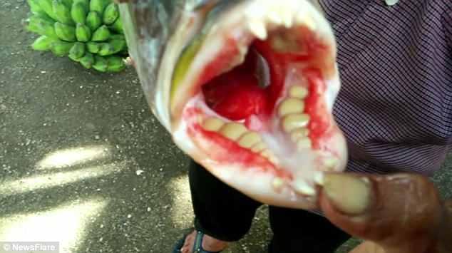 В Индонезии поймали рыбу с человеческими зубами