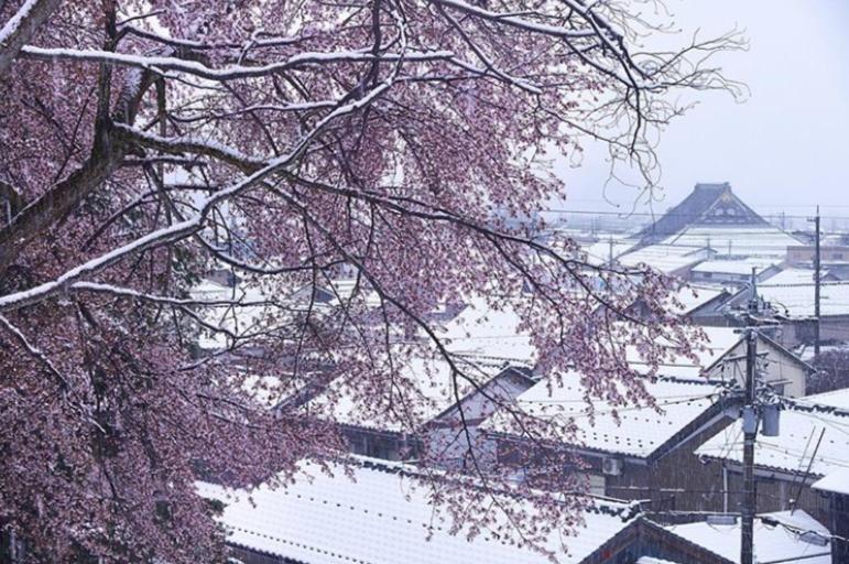 Сакура под снегом: впервые за 17 лет