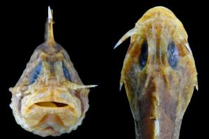 Ученые обнаружили саблезубых рыб