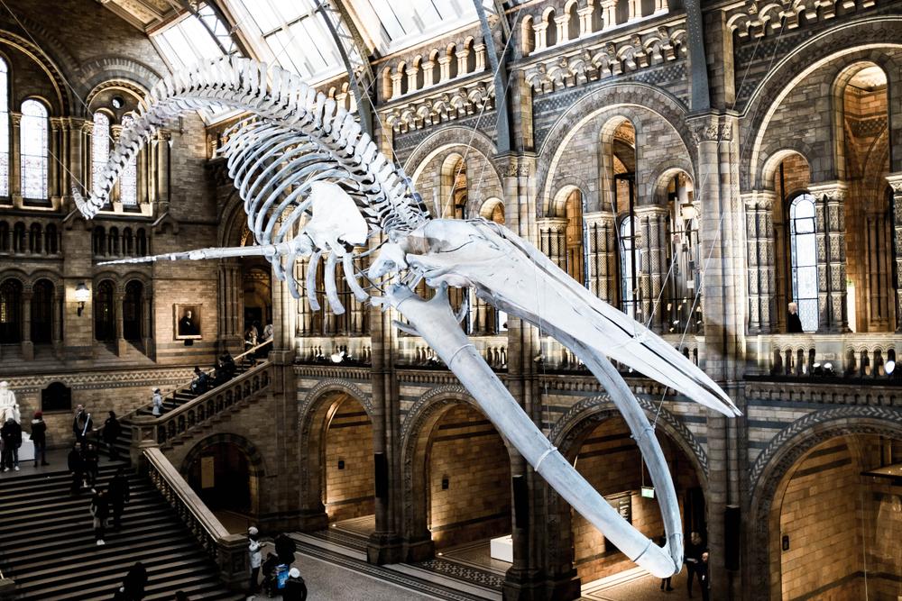 Предками голубых китов были вовсе не зубастые хищники. Но кто? Предками голубых китов были вовсе не зубастые хищники. Но кто? shutterstock 1070721920
