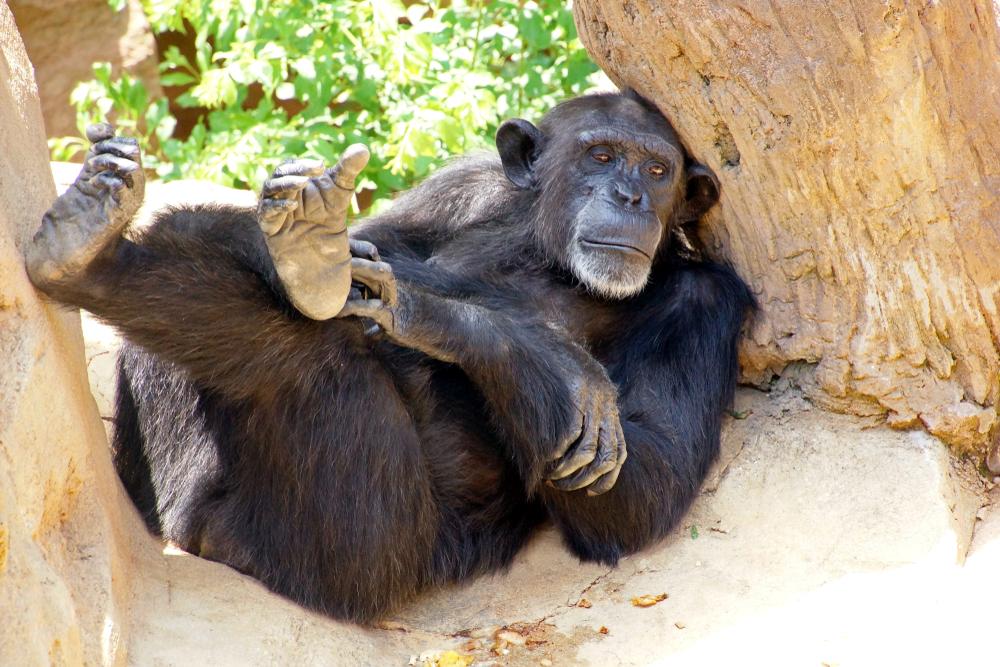 Ученые пересчитали горилл и шимпанзе