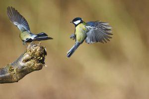 Городские птицы агрессивней, чем деревенские собратья