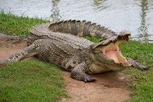 Гость на свадьбе в Зимбабве прыгнул в бассейн с крокодилами