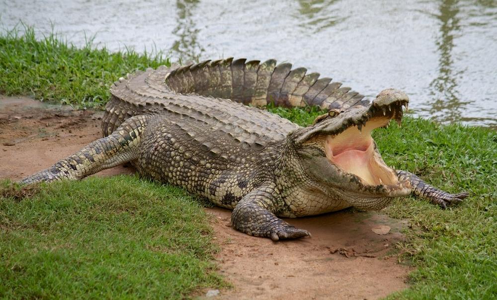 Гость на свадьбе в Зимбабве прыгнул в бассейн с крокодилами.Вокруг Света. Украина
