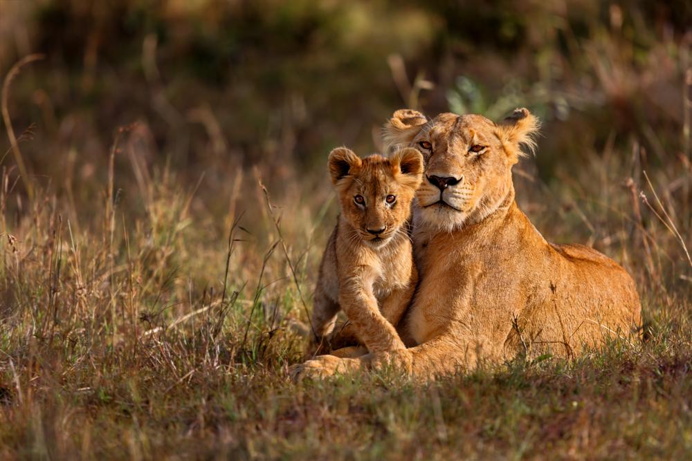 В заповеднике Уганды пастухи отравили 11 львов