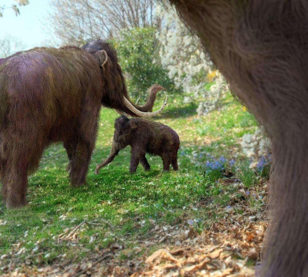 Генетики собираются вывести гибрид слона и мамонта без бивней