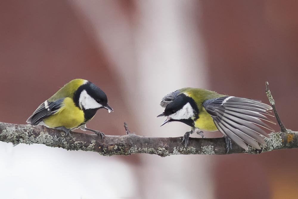 Городские птицы агрессивней, чем их деревенские собратья Городские птицы агрессивней, чем их деревенские собратья shutterstock 371151461