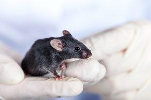 Нейробиологи впервые пересадили мыши человеческий мозг