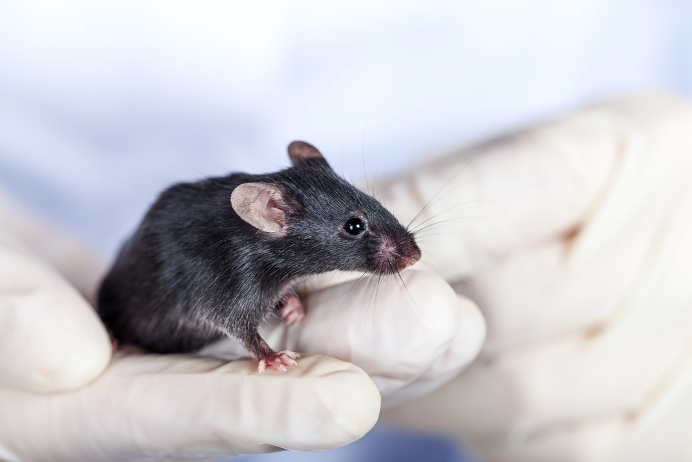 Нейробиологи впервые пересадили мыши человеческий мозг.Вокруг Света. Украина