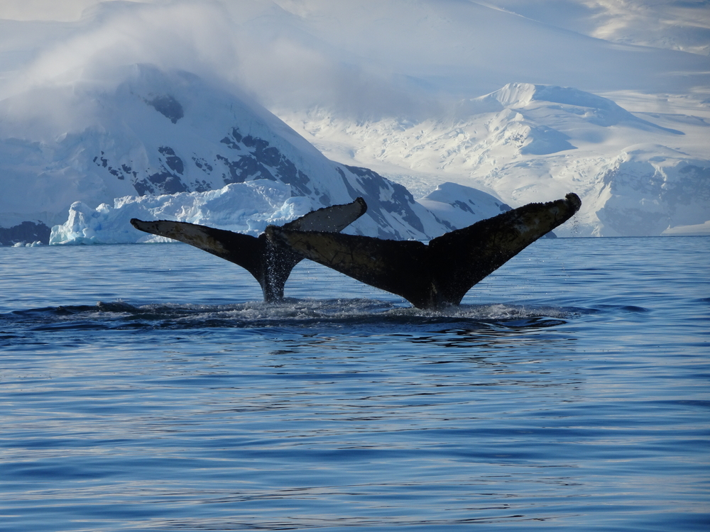 Гренландские киты поют джаз: океанологи