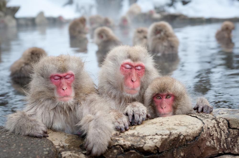 Снежные обезьяны отмокают в источниках, чтобы снять стресс