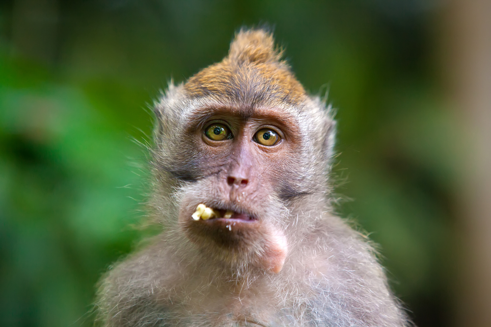 Новую мужскую контрацепцию испытали на обезьянах