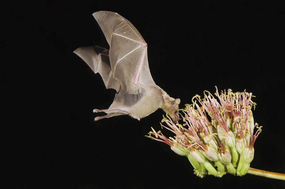 Летучих мышей, опыляющих агаву, спасли от вымирания