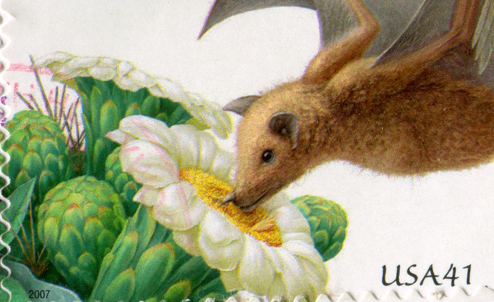 Летучих мышей, опыляющих агаву, спасли от вымирания Летучих мышей, опыляющих агаву, спасли от вымирания shutterstock 88900027