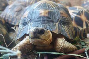 10 тысяч исчезающих черепах нашли в жилом доме на Мадагаскаре