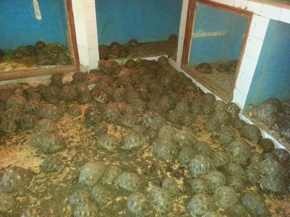 10 тысяч исчезающих черепах нашли в жилом доме на Мадагаскаре 10 тысяч исчезающих черепах нашли в жилом доме на Мадагаскаре turtles1