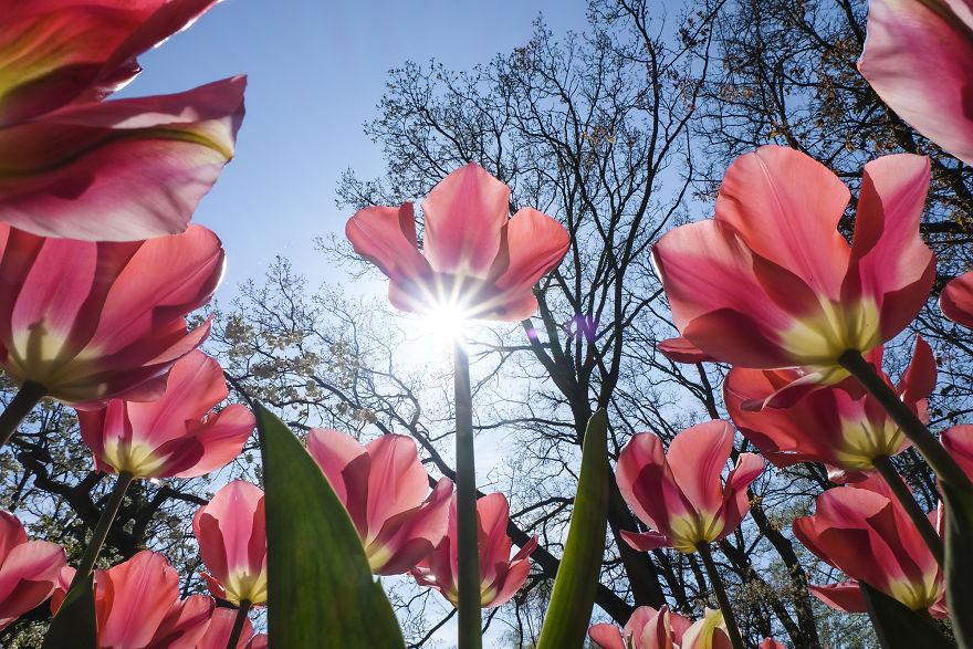 В Нидерландах одновременно расцвели 7 миллионов тюльпанов