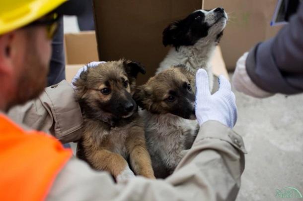 Из Чернобыля в США вывезут сотни бездомных щенков Из Чернобыля в США вывезут сотни бездомных щенков 2 7
