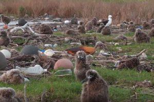 Фотограф снял гибель альбатросов, объевшихся пластиком