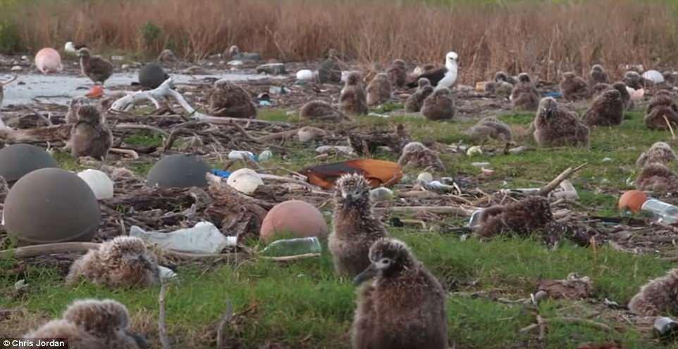 Фотограф снял гибель альбатросов, объевшихся пластиком.Вокруг Света. Украина