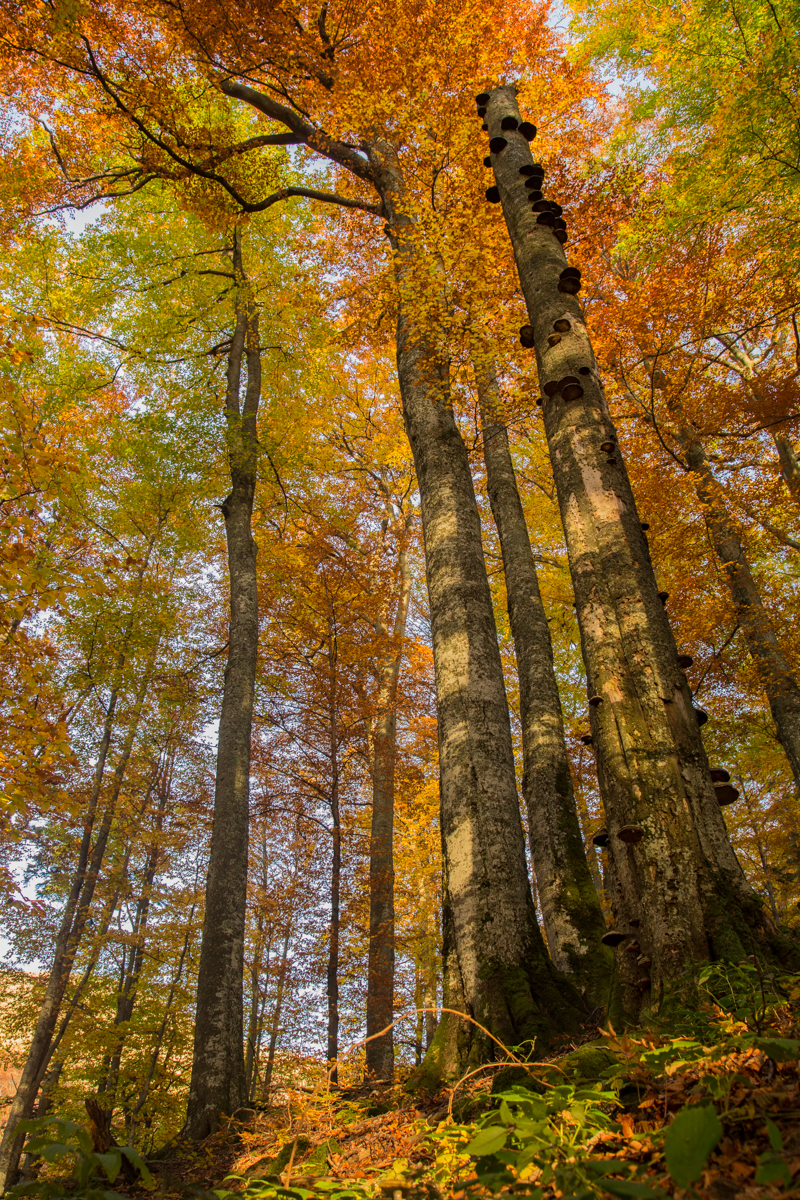 Карпатські праліси: чому саме в Україні збереглися найдавніші ліси Європи Карпатські праліси: чому саме в Україні збереглися найдавніші ліси Європи 647A4597 2