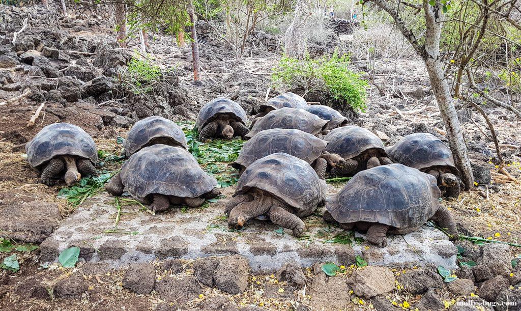 Гигантские черепахи, морские игуаны, действующие вулканы – все о жизни на Галапагосах Гигантские черепахи, морские игуаны, действующие вулканы – все о жизни на Галапагосах Galapagos Charles Darwin station 1024x611