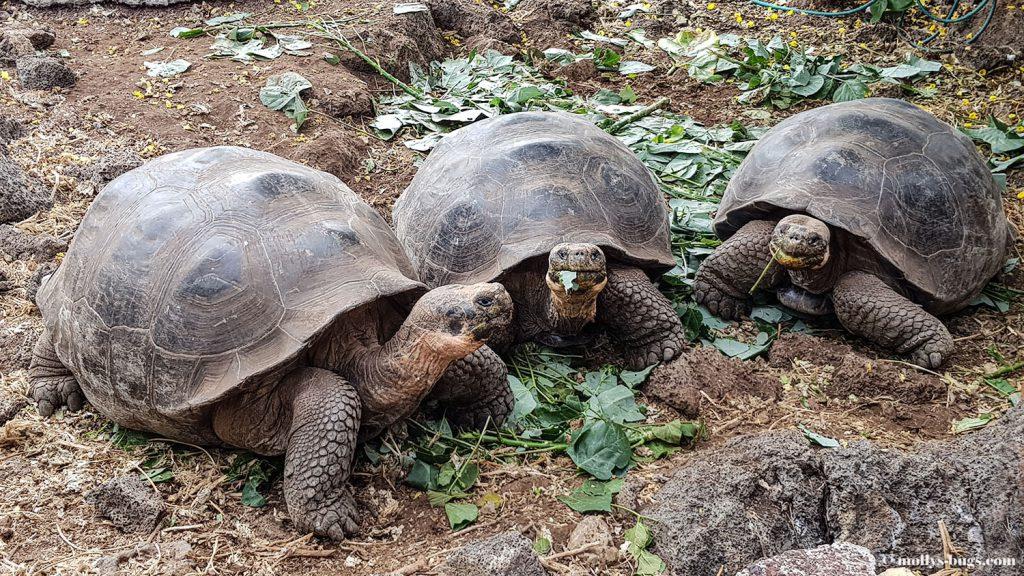 Гигантские черепахи, морские игуаны, действующие вулканы – все о жизни на Галапагосах Гигантские черепахи, морские игуаны, действующие вулканы – все о жизни на Галапагосах Galapagos Charles Darwin station 2 1024x576