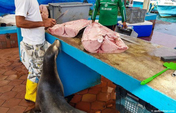 Гигантские черепахи, морские игуаны, действующие вулканы – все о жизни на Галапагосах Гигантские черепахи, морские игуаны, действующие вулканы – все о жизни на Галапагосах Galapagos fishmarket Puerto Ayora 10 1024x664 614x395
