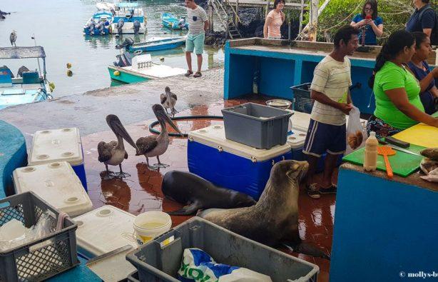 Гигантские черепахи, морские игуаны, действующие вулканы – все о жизни на Галапагосах Гигантские черепахи, морские игуаны, действующие вулканы – все о жизни на Галапагосах Galapagos fishmarket Puerto Ayora 1024x576 614x395