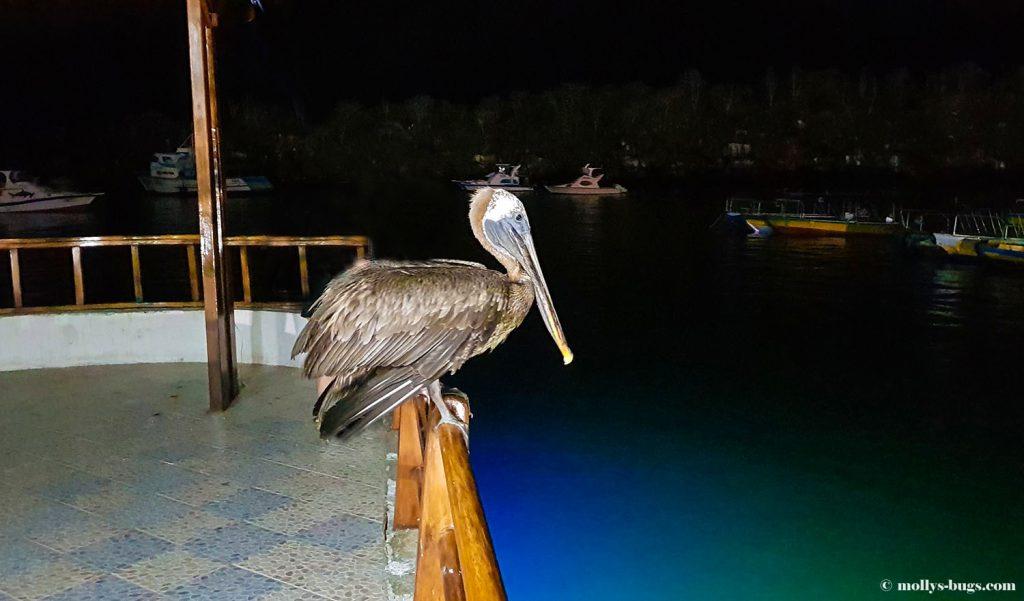 Гигантские черепахи, морские игуаны, действующие вулканы – все о жизни на Галапагосах Гигантские черепахи, морские игуаны, действующие вулканы – все о жизни на Галапагосах Galapagos pelicano 1024x601