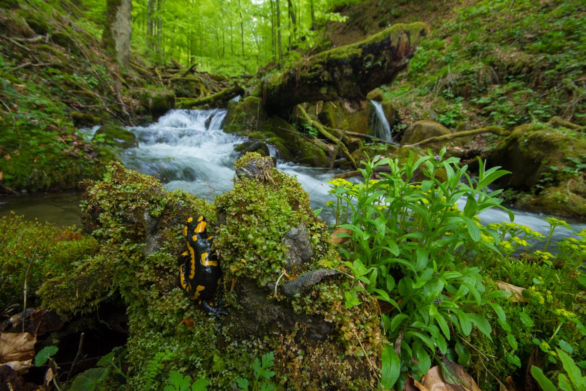 Карпатські праліси: чому саме в Україні збереглися найдавніші ліси Європи Карпатські праліси: чому саме в Україні збереглися найдавніші ліси Європи IMG 3132 2