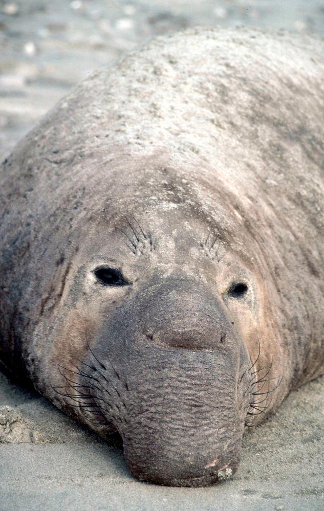 День биоразнообразия: почему нам нужно, чтобы природа была разной День биоразнообразия: почему нам нужно, чтобы природа была разной Severnyj morskoj slon