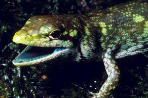 В Новой Гвинее нашли ящериц с зеленой ядовитой кровью