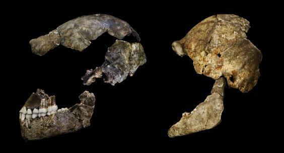 Гоминиды с мозгом современного человека опровергают эволюцию: антропологи Гоминиды с мозгом современного человека опровергают эволюцию: антропологи homo naledi skull