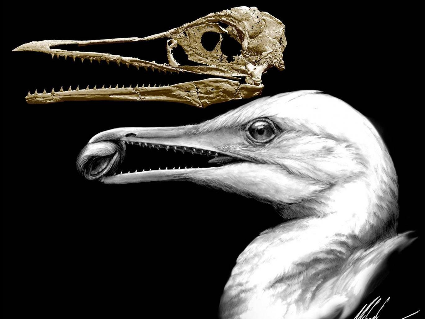 Чайка с зубами динозавра: палеонтологи описали, как выглядели первоптицы