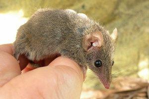 Сумчатые мыши могут исчезнуть из-за чрезмерного секса